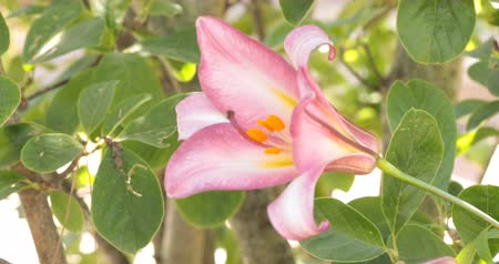 perennials : Nice pink trumpet lily from the variety Pink Perfection blooming in a garden in June