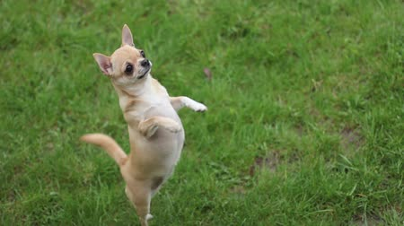 domestic short haired : short haired chihuahua jumping on two legs on the grass- tripod, 1920x1080
