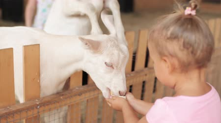 cabra : Cute little girl feeding a goat at farm. Stock Footage
