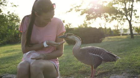 tweak : Funny video about young smiling woman feeding wild goose from palm but goose attack and plucked when feed is ends. Girl with danger geese 4k slow motion. Stock Footage