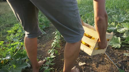 patissons : Steadicam shot barefoot feets of young farmer going on the field with wooden box of organic bush pumpkin. Farmer going and puts down box with patissons on the soil for harvesting more vegetables. Stock Footage