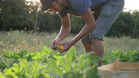 plucks : Steadicam shot of young farmer harvesting a bush pumpkin in wood box at field of organic farm. 4K UHD video clip.