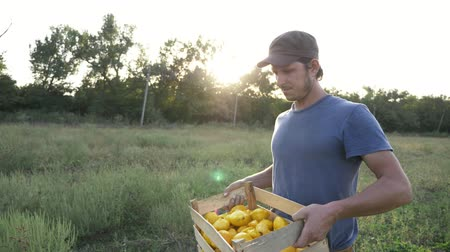 patissons : Steadicam shot of young farmer going on the field with wooden box of organic bush pumpkin. Working process of harvesting patissons on the eco farm at sunrise light, with lens flare, 4K slow motion