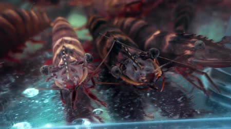 homar : Prawn in an aquarium tank Wideo
