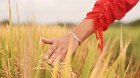 Womans hand touch young wheat ears at sunset or sunrise. Rural and natural scenery. country, nature, summer holidays, agriculture and people concept - close up of young woman hand touching field