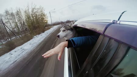 huskies : Friendship huskies and human. Hand Man and dog peer out of car window and play. Boy stroking the pet head. Animal best friend. Biting hand male. Guy playful husky. Siberian wolf driving automobile.