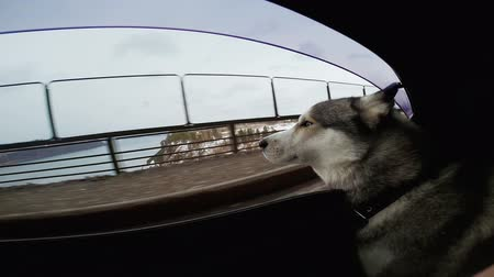 tripping : The dog looking at the world from a car window. The car go fast on a snow road. Cold wind blowing in his face. Portrait animal . Purebred huskies drive automobile fast speed. Hydro power station. Stock Footage