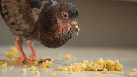 fed : A Sick Pigeon with a Bald Groin Eats Millet from the Floor of 4K.