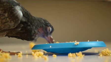 birdie : The Bird is Scattering Food on the Floor Slow Motion. Stock Footage