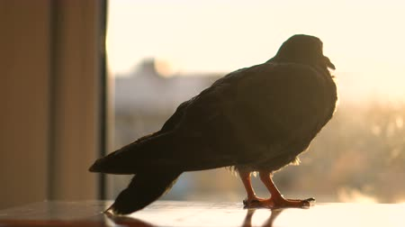 kismadár : The Gray Dove Sits Near the Window on a Summer Evening at Sunset and Looks.