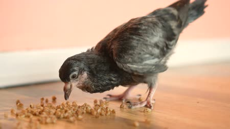 colombe : The Nest of the Pigeon Pecks Grain on the Floor in the Apartment.