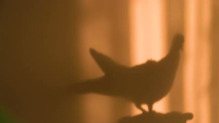 csaj : Silhouette of a Dove on a Pink Wall Near the Window in the Evening