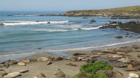 blubber : Northern Elephant seal colony. Colony of wild Elephant Seals (Mirounga angustirostris). California, Pacific Coast, Cambria, Piedras Blancas beach. Stock Footage