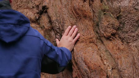 boomschors : Man hand raakt de schors van de close-up van de sequoia boom. Sequoia boom. Reuze Sequoias Boom in Sequoia National Park, Californië, Verenigde Staten. Sequoia Bark close-up. Tactiele communicatie met de natuur.