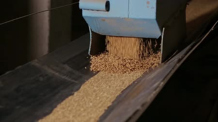 garner : Grain moves along the conveyor belt. Wheat is transported by conveyor for drying and grinding in a mill. Wheat is ground into flour. Wheat grain on the conveyor. Granary in the milling plant. Stock Footage