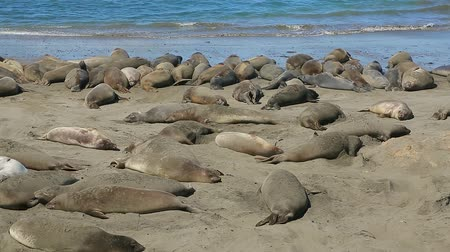 rookery : Colony of Northern Elephant seals, Mirounga angustirostris, in California, Big Sur Coast