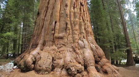 serpenyő : Sequoia tree. Giant Sequoia Tree in Sequoia National Park, California. Tilt up the giant Sequoia trees in Yosemite National Park.