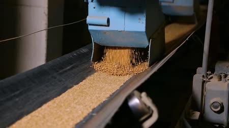 winda : Grain moves along the conveyor belt. Wheat is transported by conveyor for drying and grinding in a mill. Wheat is ground into flour. Wheat grain on the conveyor. Wideo