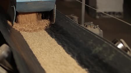 otruby : Wheat grains of golden color are poured onto a moving conveyor belt. Dynamic video. Agricultural concept.