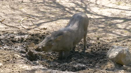 ajoelhado : Warthog is digging the earth in the African savannah, spreading the soil in different directions. African Wild Pig - Warthog. Wild African Warthogs rooting for food. Vídeos