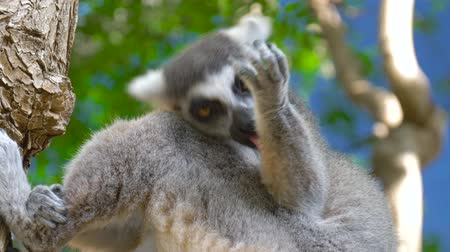 watching : Lemur licks his paw. Ring tailed Lemur close up. Lemur catta in the natural habitat. Stock Footage