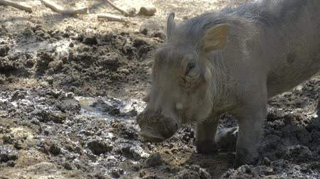 ajoelhado : Warthog using nose to dig in african savannah. Warthog feeds on its knees and uses its tusks to dig the ground. Close up portrait.