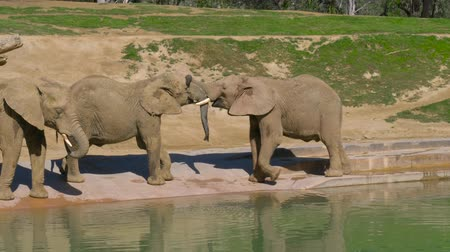savanna : Young elephants play near a watering hole in a safari park.