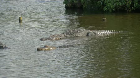 Нил : Alligators Swimming. Alligators in a swamp in Florida. Alligator floats just above the water.