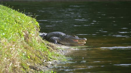 alligator mississippiensis : Alligator on the shore of the lake lies near the water with an open mouth in a natural habitat. Alligator laying near a pond with its mouth open. Alligator on land. Stock Footage