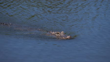 bovenaanzicht : Enige krokodil die in water drijft. Alligator drijft net boven het water. Amerikaanse Alligator - Alligator mississippiensis. Slow motion. Stockvideo