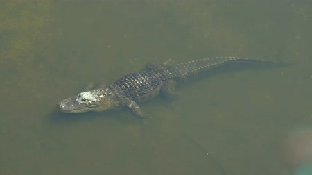 alligator mississippiensis : Alligator is a large crocodile in the water. Single crocodile floating in water. American Alligator - Alligator mississippiensis. Alligators in a swamp in Florida. Stock Footage