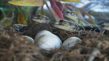 alligator mississippiensis : Newborn alligator near the egg laying in the nest. Little baby crocodiles are hatching from eggs. Baby alligator just hatched from egg. Alligator hatchlings emerge. Stock Footage