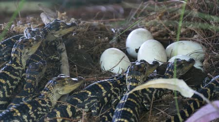 alligator mississippiensis : Alligator hatchlings emerge. Newborn alligator near the egg laying in the nest. Little baby crocodiles are hatching from eggs. Baby alligator just hatched from egg. Stock Footage