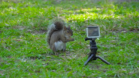 wiewiórka : Action Camera shoots squirrel that eats nuts. Action Camera recording how squirrel eating nuts. Squirrel eats hidden camera. Squirrel sits in front of camera in park. Slow motion 4k resolution. Wideo
