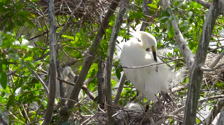 hern : Great white egret takes care of its chicks. Young chicks egret fools in nest. Mother great white egret standing watch over the chick in their nest. Great Egret nest with young chicks. Birds nest. Stock Footage