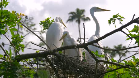 csajok : Great white egret takes care of its chicks. Young chicks egret fools in nest. Mother great white egret standing watch over the chick in their nest. Great Egret nest with young chicks. Birds nest. Stock mozgókép