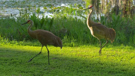 sandhill crane : Sandhill Crane stroll along the lake in search of food in the rays of sunset. Sandhill Crane (Grus canadensis) - Florida. Sandhill cranes family feed near lake. 4K.