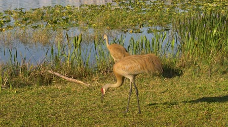 sandhill crane : Sandhill Crane (Grus canadensis) - Couple looking for food. Sandhill cranes family feed near lake. 4K.