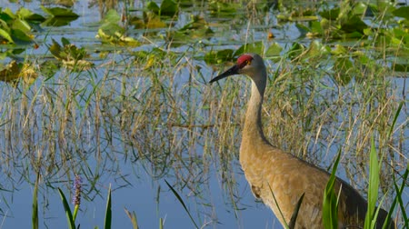 sandhill crane : Sandhill Crane (Grus canadensis) - Florida. Sandhill Crane (Grus canadensis) stroll along the lake in search of food. Adult Sandhill Crane (Grus canadensis) is standing at the edge of the marsh.