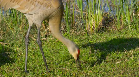 sandhill crane : Sandhill Crane (Grus canadensis) stroll along the lake in search of food. Sandhill Cranes in Florida wetlands. Grus canadensis extract worms from the soil and eat them. 4K.