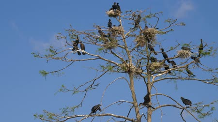 csajok : Phalacrocorax carbo. Great Black Cormorant. Cormorant nests in a tree. Group of Double-crested cormorant, Phalacrocorax auritus sittingon a nest. Flock of cormorants in nests on the tree.