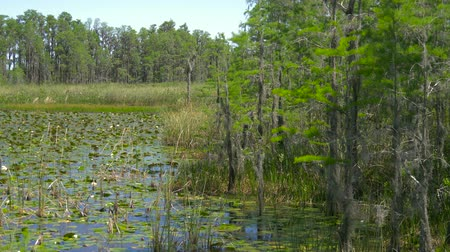 boggy : Lush green swamp in tropical forest environment. Swamp in the forest. Trees on swamp. Beautiful nature landscape in park or forest in Florida. USA. Panorama shot. View of wetland swamp forest lake.