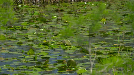 boggy : View of wetland swamp forest lake close up. Swamp in the forest. Spring swamp in the forest. Stock Footage