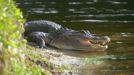 Észak amerika : Alligator on the shore of the lake lies near the river with an open mouth in a natural habitat. Close up. American alligator is getting out from the water. Slow motion