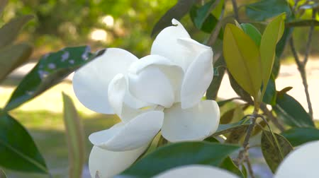 magnólia növény : Magnolia flower blooming. Beautiful white magnolia flower in a garden close-up. Magnolia tree blossom. White magnolia blossoms floral natural background. Stock mozgókép