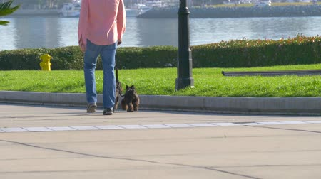 köpek yavrusu : Man is walking with dogs. Dog walker with two dogs in a big city. Owner and two black dog walking in the city. Stok Video
