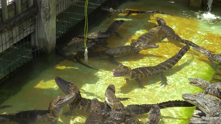 alligator mississippiensis : Tourists feed young alligators fish tied to a rope. Alligators rush to prey. Hungry alligators on the farm. Aligators breeding farm in the Florida. Dangerous hungry animals waiting for prey. Stock Footage