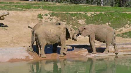buzağı : Young elephants play near a watering hole in a safari park.