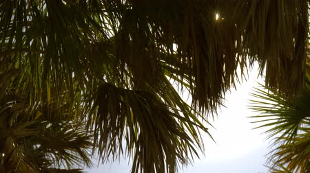 bermudas : Palm branches with leaves. Deep dark green palm leaves. Coconut palm trees, beautiful tropical background. Dark silhouettes of palm trees on blue sky background. Summer luxury vacation.