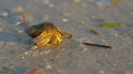 hides : Hermit crab macro view. Small hermit crab in the sand. Hermit crab walking along beach with waving sea blurry background. Hermit Crab in a screw shell. Warm light toned. Stock Footage